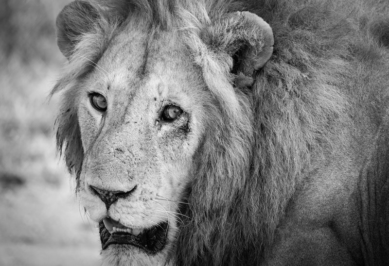 Serengeti Boss