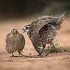 Northern Bobtail Quail Displaying