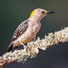 Golden Fronted Wood Pecker