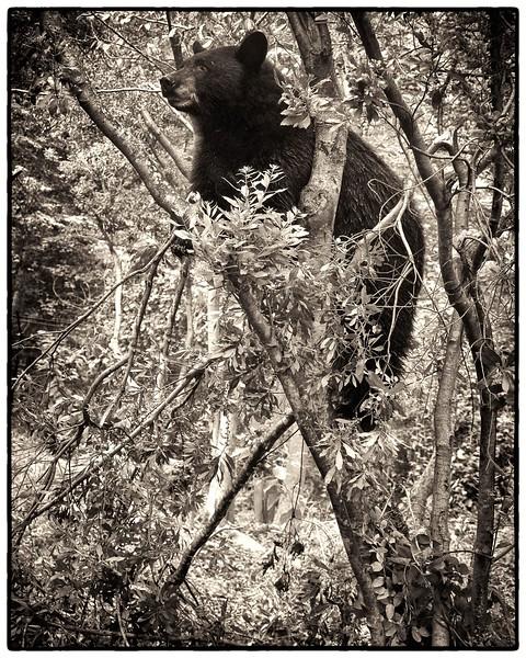 Cades Cove Bear