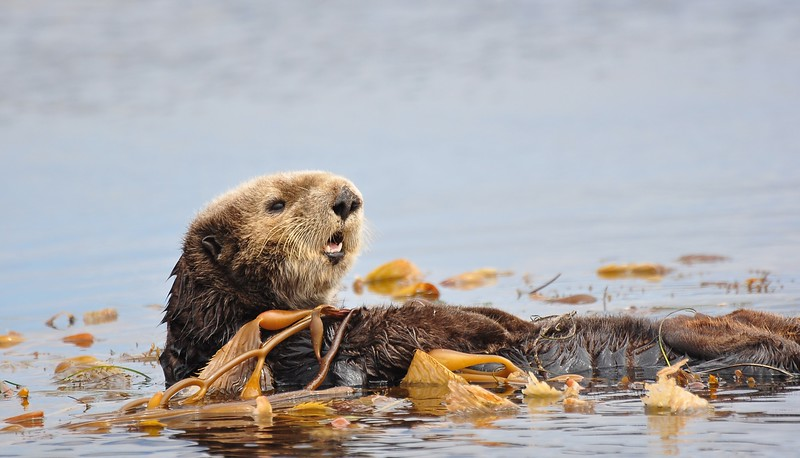 Otter at Monterey Bay
