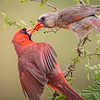 Northern Cardinals Feeding