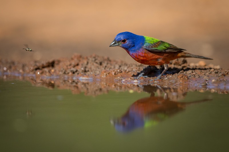 Painted Bunting w/Photo Bombing Fly