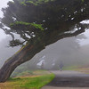Wind Swept Cypress
