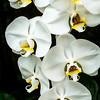 Sleeping Lilies