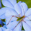 Bush Katydid on Plumbago