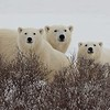 Mother Bear & Two Cubs