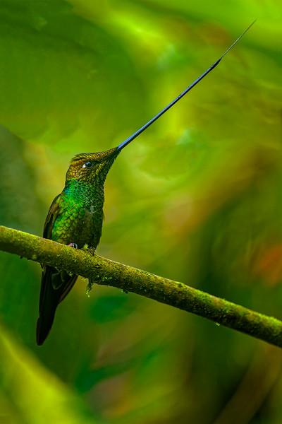 Swordbill Hummingbird