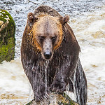 Grizzly Grin
