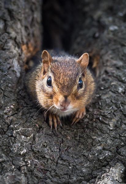 Chipmunk Lookout