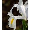 Iris Rain Drops