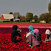 In the Tulip Field