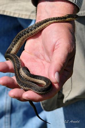 Garter snake at Pickerel Creek