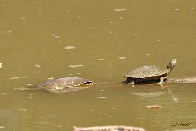 River  turtles