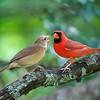2020 Tom Ulrich Award, Third Place:  Henpecked Cardinal