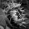 2020 Black and White Print of the Year, Ron Bowen Award: Early Sunflower