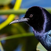 2020 Tom Ulrich Award, Honorable Mention:  Male Grackle, Florida Everglades