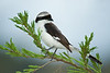 """Grey Headed Shrike""<br /> Honorable Mention<br /> Steve Grunfeld"