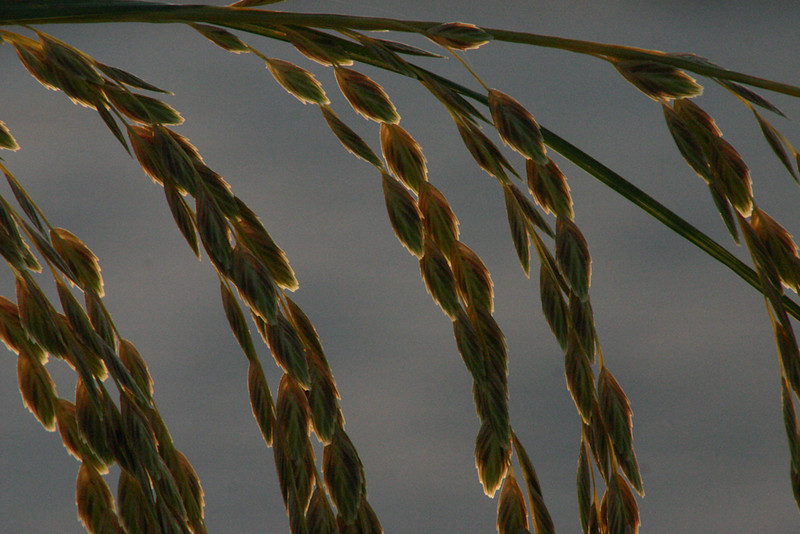"""""""Golden Oats""""<br /> Honorable Mention<br /> Robert Caldwell"""