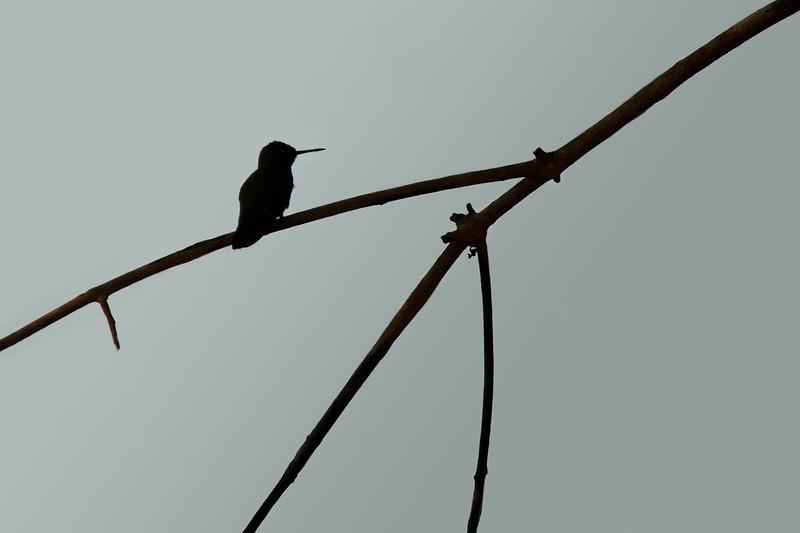 """Hummingbird Silhouette""<br /> Honorable Mention - Digital Projection<br /> Steve Grunfeld"