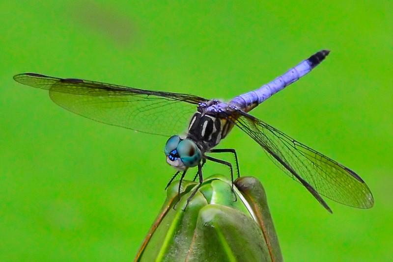 """Blue Dragonfly""<br /> Honorable Mention - Digital Projection<br /> Sydney Keel"