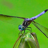 """Blue Dragonfly""<br /> Honorable Mention - Digital Projection<br /> Sydney Keel"