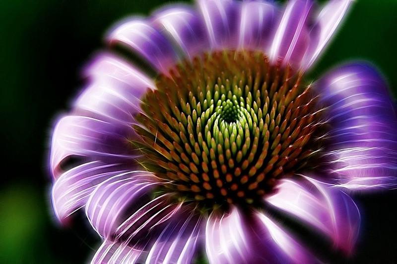 """Echinacea""<br /> 1st Place - Digital Projection<br /> Delos Johnson"