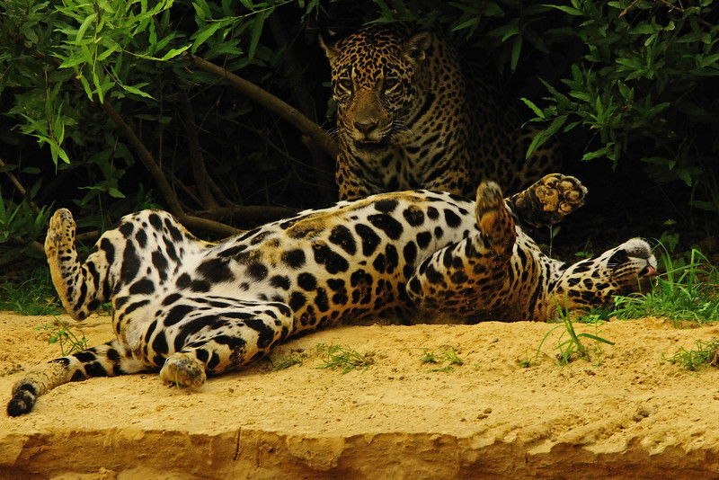 """""""Jaguars At Play""""<br /> Honorable Mention - Digital Projection<br /> Charlie Stewart"""