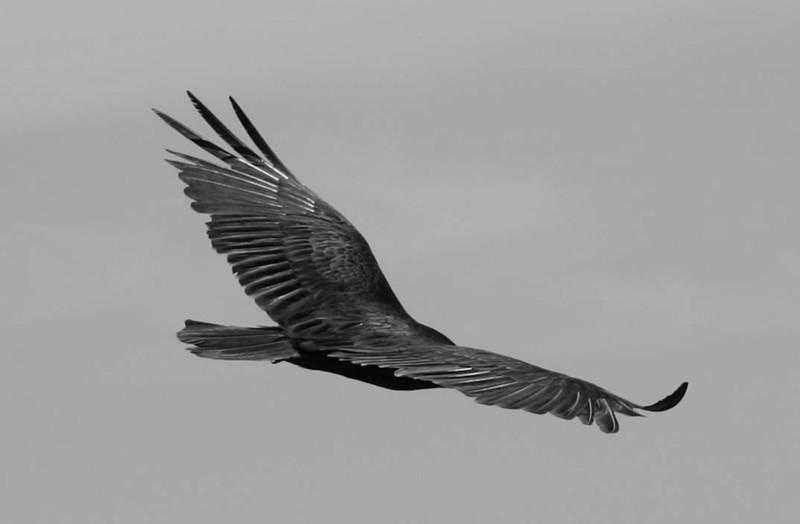 """Headless Condor""<br /> 1st Place - Black & White Prints<br /> Penny Wegener"