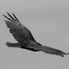 """Headless Condor""<br /> 1st Place - Black & White Prints<br /> Penny Wegener"