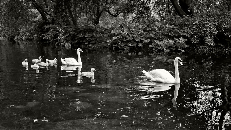 """""""Swan Lake""""<br /> 2nd Place - Black & White Prints<br /> Ron Clemmons"""