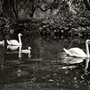"""Swan Lake""<br /> 2nd Place - Black & White Prints<br /> Ron Clemmons"