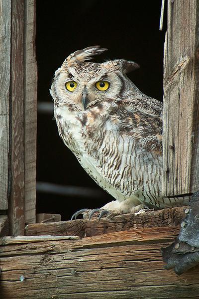 """Great Horned Owl""<br /> Honorable Mention - Digital Projection<br /> Steve Grunfeld"