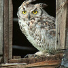 """Great Horned Owl""<br /> Honorable Mention - Digital Projection<br /> Steve Grunfeld"