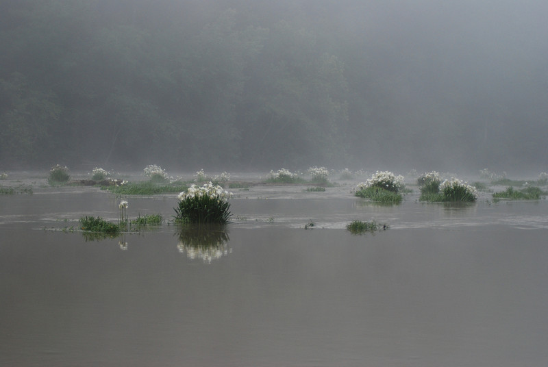 """""""Cahaba Lilies""""<br /> Honorable Mention - Digital Projection<br /> Patrick Stout"""
