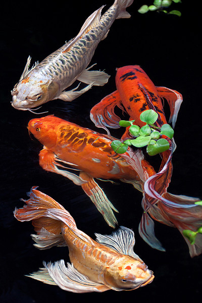 """""""Koi""""<br /> 2nd Place - Digital Projection<br /> Terry Yarbrough"""