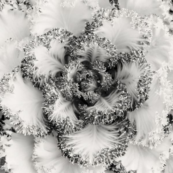 """Winter Kale""<br /> Honorable Mention - Digital Projection<br /> Tim Stacks"