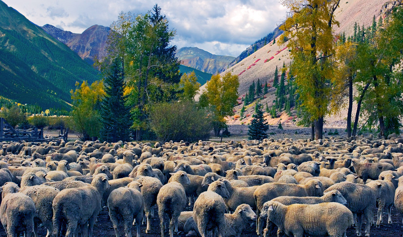 """""""Silverton Sheep""""<br /> Honorable Mention - Projected Images<br /> Terry Yarbrough"""