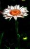 Electric Daisy
