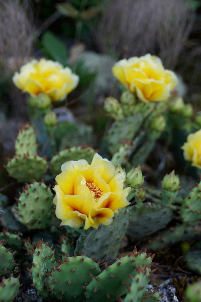 """Yellow Beavertail Cactus""<br /> Honorable Mention - Digital Projection<br /> Ken Gables"