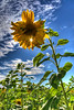 Southern Sunflower