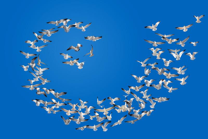 Spiral of Seagulls