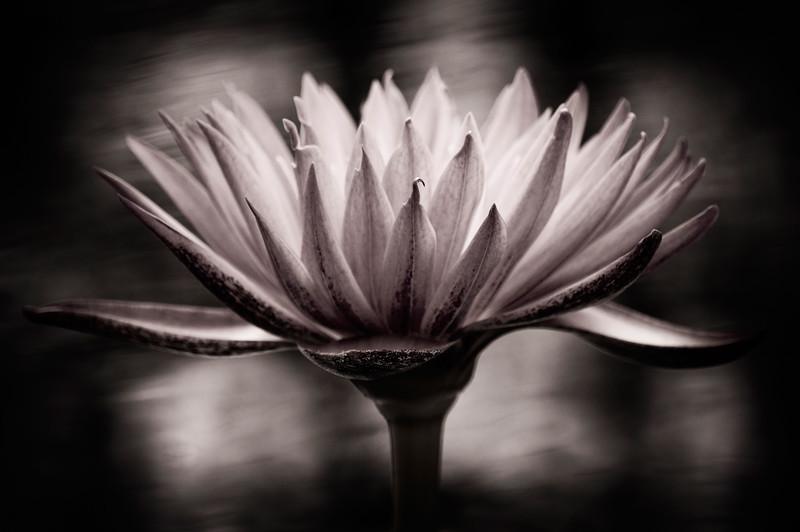 Lotus#1