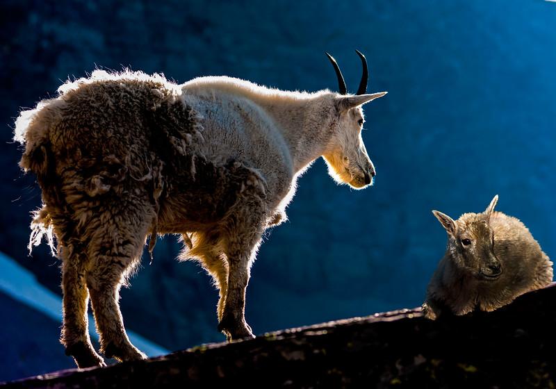 Rim Lit Sheep