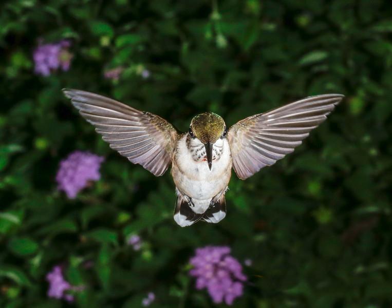 Hummingbird Landing