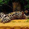Jaguar Pair