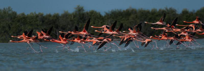 Flamingo Takeoff