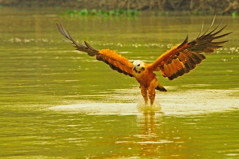 Red Collared Hawk