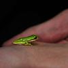 Wetland Frog