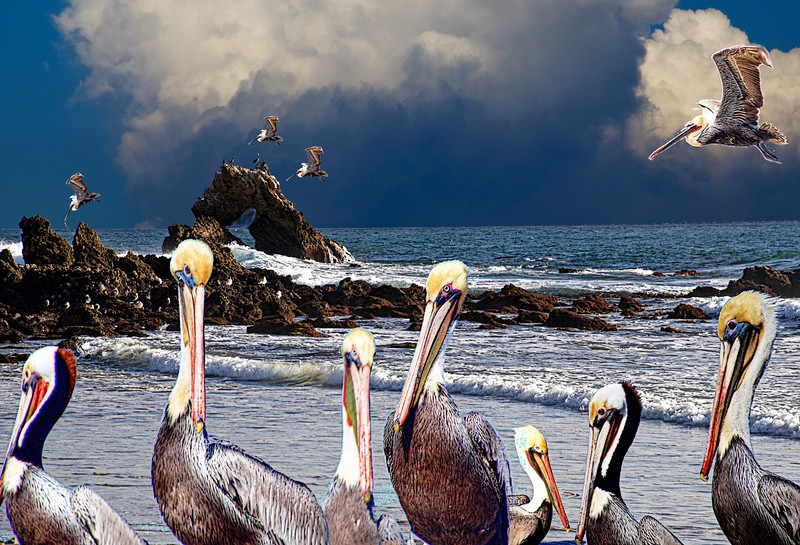 My Pelicans at the Pacific Coast